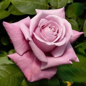Роза чайно-гибридная Шарль де Голль купить саженцы в Крыму