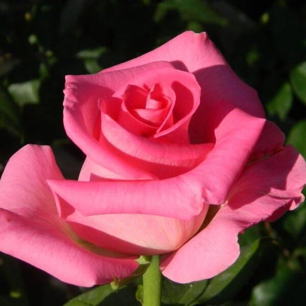 Роза чайно-гибридная Топаз купить саженцы в Крыму