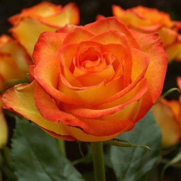 Роза чайно-гибридная Трезор 2000 купить саженцы в Крыму
