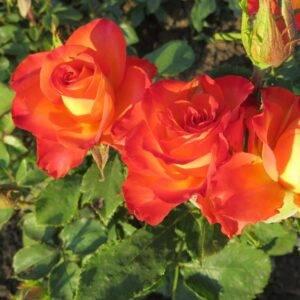 Роза чайно-гибридная Тукан купить саженцы в Крыму