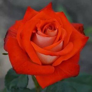 Роза чайно-гибридная Верано купить саженцы в Крыму цены