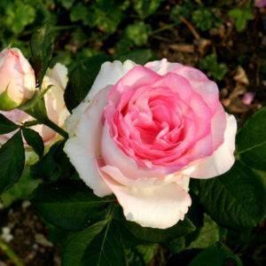 Роза Дольче Вита саженцы недорого продажа в Крыму