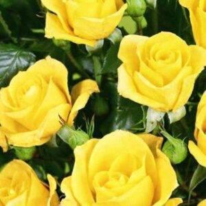 Роза Фи Фи купить саженцы магазин в Крыму