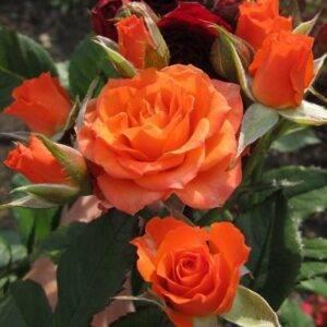 Роза флорибунда Алегрия продажа саженцев Крым цена