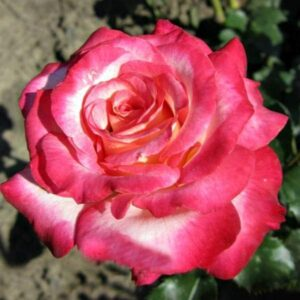 Роза флорибунда Арифа саженцы продажа в Крыму недорого