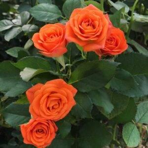 Роза флорибунда Оранж Беби саженцы продажа Крым цена недорого