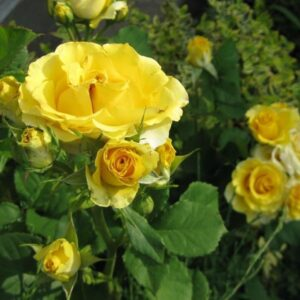 Роза флорибунда Сфинкс продажа саженцев в Крыму