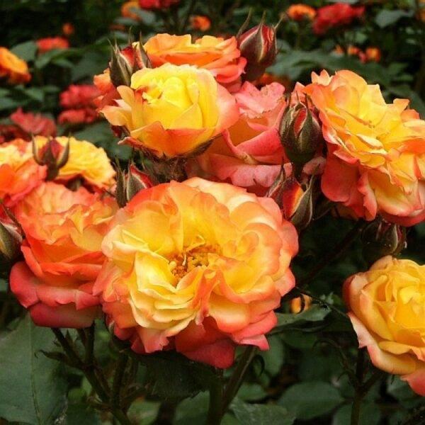 Роза флорибунда Солнечная девочка купить саженцы Крым цена