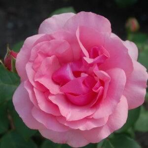 Роза Гейша купить саженцы в Крыму недорого