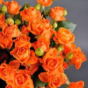 Роза Лайт Оранж продажа саженцев Крым цена