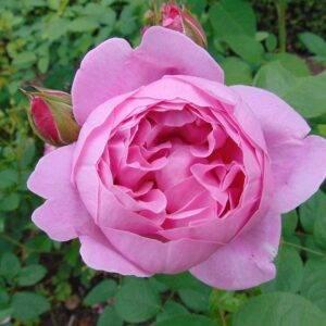 Роза Мэри Роуз купить саженцы в Крыму