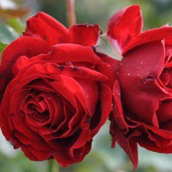 Роза парковая Грандесса купить в Крыму недорого