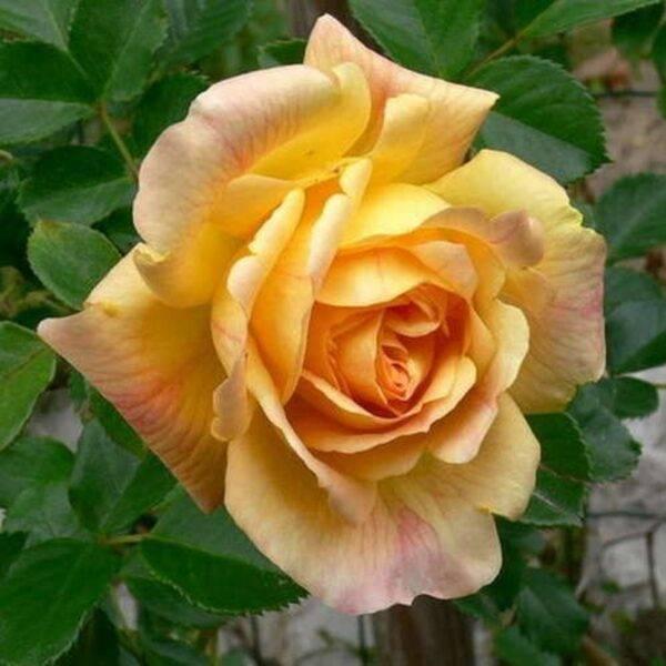Роза парковая Мишка купить саженцы в Крыму