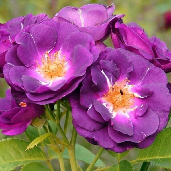 Роза парковая Рапсодия купить в Крыму недорого