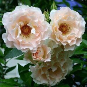 Роза парковая Рококо саженцы в Крыму недорого