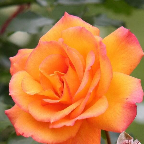 Роза парковая Сахара купить саженцы в Крыму