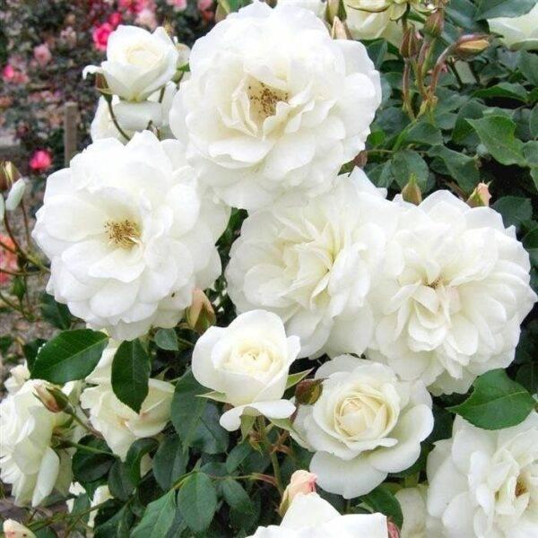 Роза плетистая Айсберг саженцы купить в Крыму