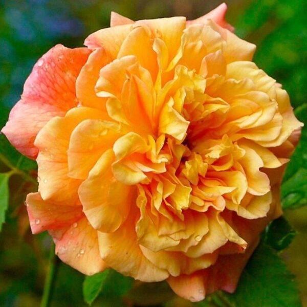 Роза плетистая Алоха купить саженцы в Крыму недорого