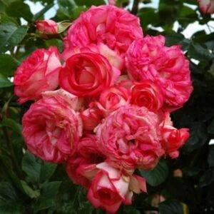 Роза плетистая Антик купить саженцы цена Крым
