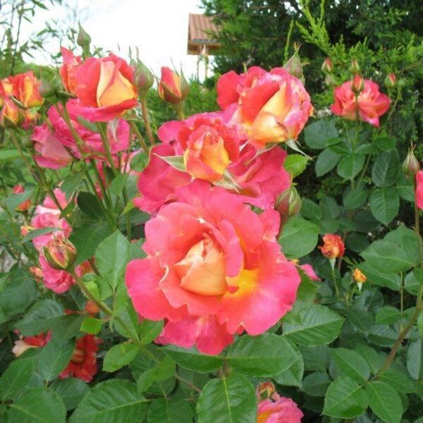 Роза плетистая Арлекин купить саженцы в Крыму недорого