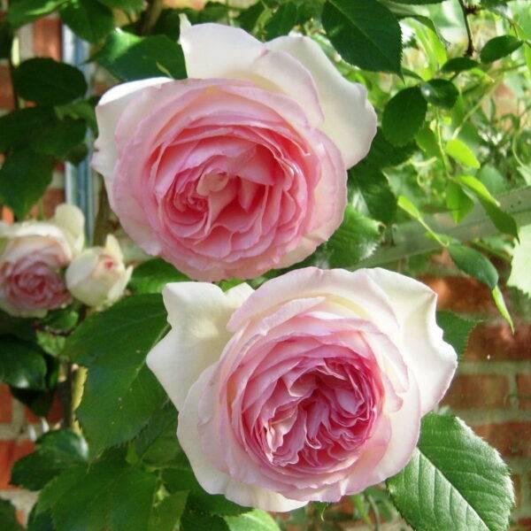 Роза плетистая Эден Роуз купить саженцы в Крыму