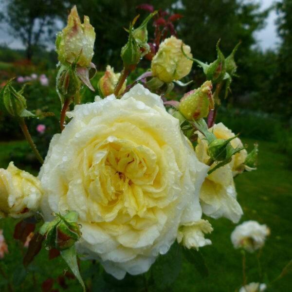 Роза плетистая Эльф купить саженцы цена Крым
