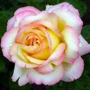 Роза плетистая Глория клайминг купить саженцы в Крыму недорого