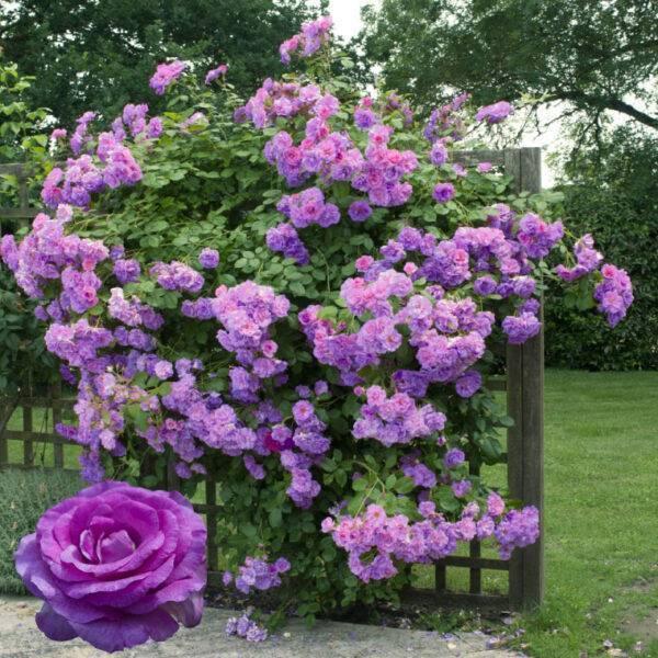 Роза плетистая Индиголетта купить саженцы недорого в Крыму