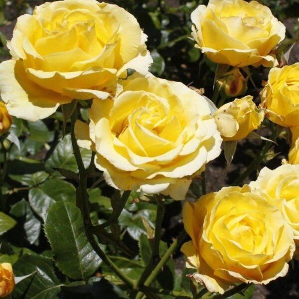 Роза плетистая Казино купить в Крыму недорого