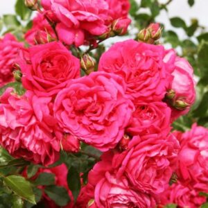 Роза плетистая Лагуна купить саженцы в Крыму недорого