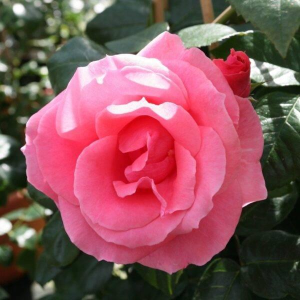 Роза плетистая Лавиния купит в Крыму недорого саженцы роз