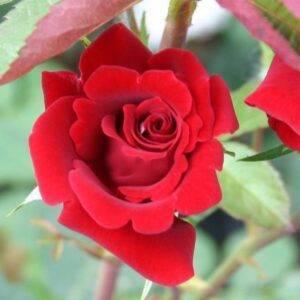 Роза плетистая Мушимара купить саженцы в Крыму недорого