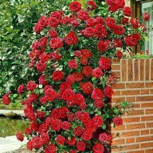 Роза плетистая Сантана цена саженцы купить в Крыму