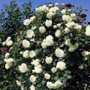 Роза плетистая Шнеевальзер саженцы купить цена Крым