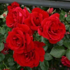 Роза плетистая Симпатия купить саженцы в Крыму