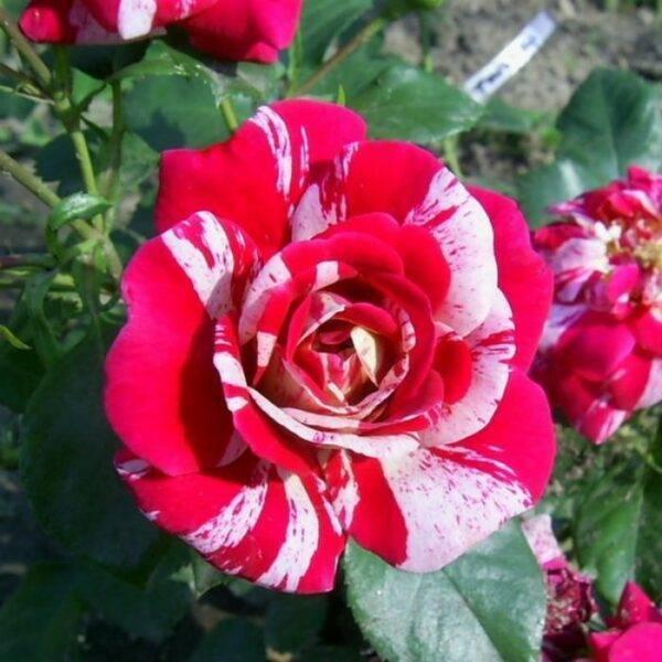 Роза плетистая Твист саженцы в продаже недорого в Крыму