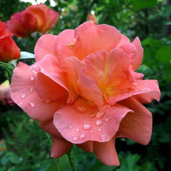 Роза плетистая Вестерленд купить в Крыму недорого саженцы