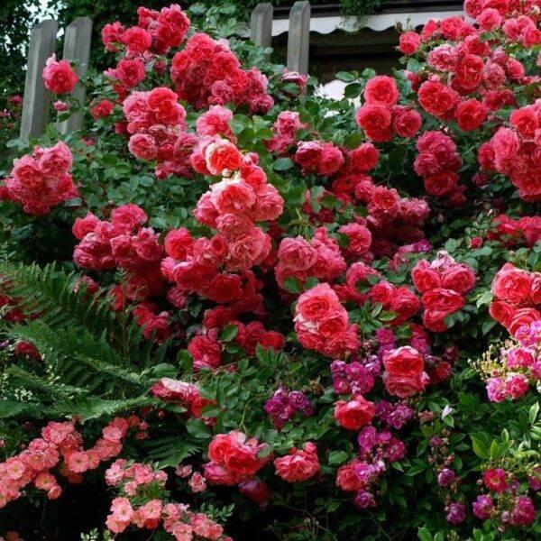 Роза плетистая Ютерсен купить в Крыму саженцы розы недорого