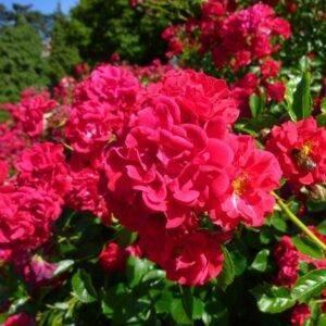 Роза почвопокровная Хеллоу купить саженцы в Крыму