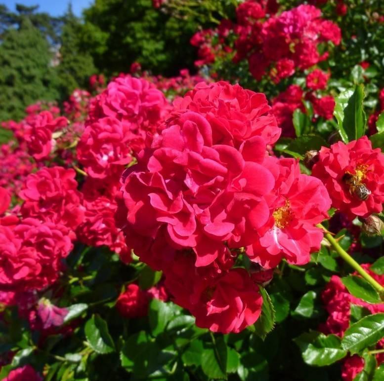 купить саженцы роз мир роз