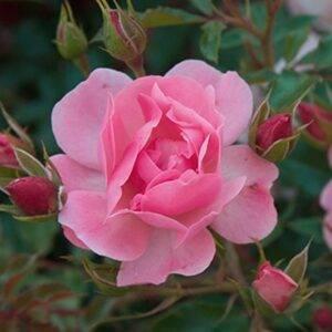 Роза почвопокровная Мирато купить в Крыму недорого