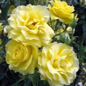 Роза почвопокровная Зонненширм купить в Крыму недорого