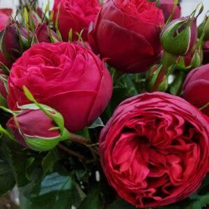 Роза Ред Пиано купить саженцы в Крыму