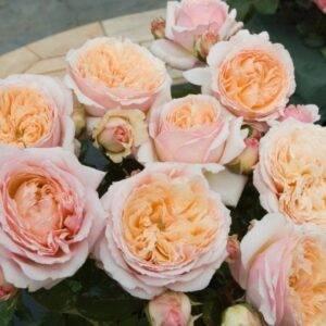 Роза Шарль де Невро продажа саженцев в Крыму