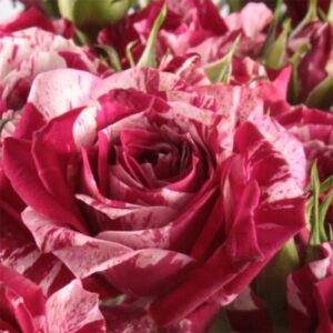 Роза спрей Арроу купить саженцы в Крыму