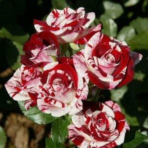 Роза Спрей ФлешНайт купить в Крыму саженцы розы недорого