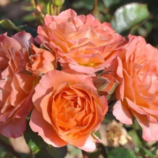 Роза спрей Колибри купить саженцы в Крыму