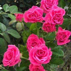 Роза спрей Лавли Лидия купить саженцы цены Крым
