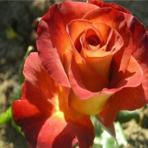 Роза спрей Леонидас купить саженцы в Крыму цены недорого