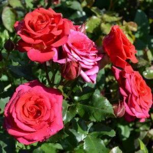 Роза спрей Мирабель купить саженцы в Крыму недорого
